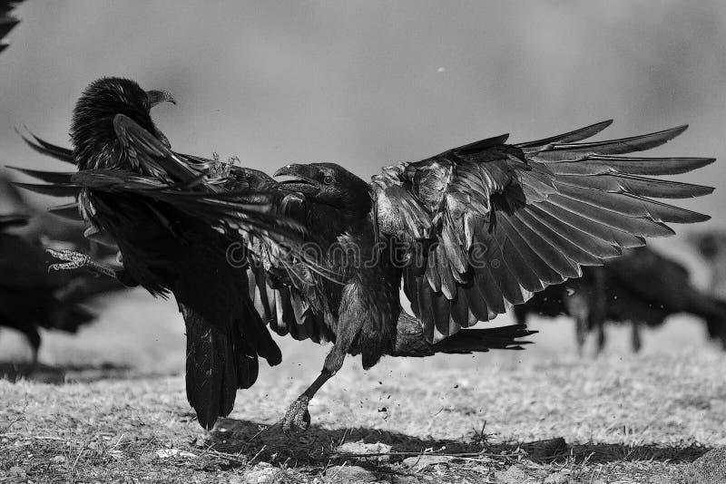 Twee raven Corvus die corax vechten BW-filter stock foto's
