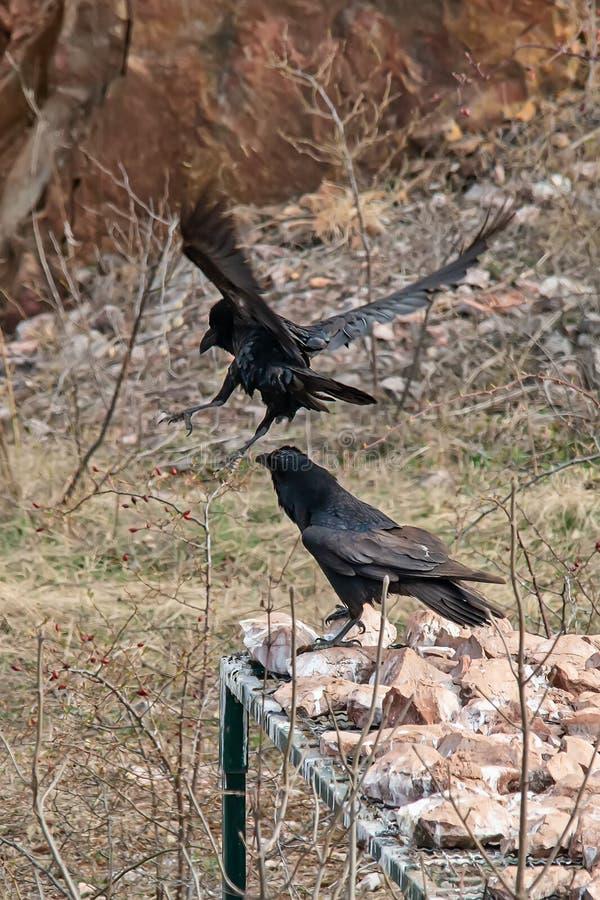 Twee raven debatteren royalty-vrije stock fotografie