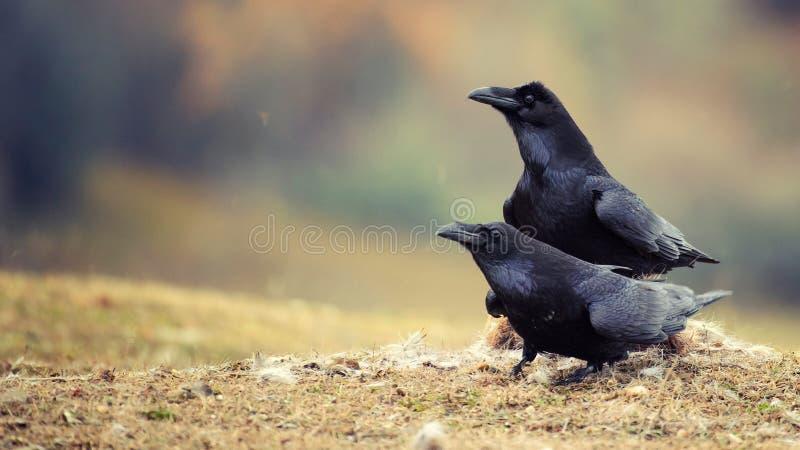 Twee raven die op een gebied voor mooie bokeh zitten royalty-vrije stock foto