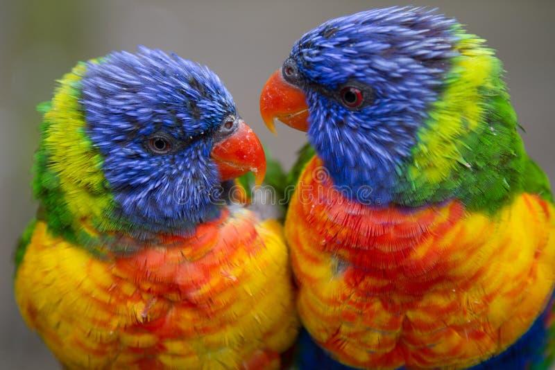 Twee Regenboog Lorikeets royalty-vrije stock foto's