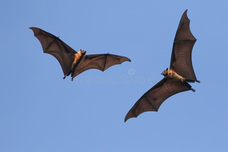 Twee Reuze Indische vleerhondknuppels on the fly, Pteropus-giganteu stock afbeelding