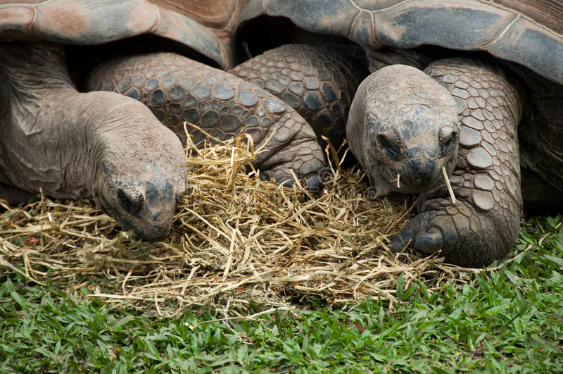 Twee Reuzeschildpadden royalty-vrije stock fotografie