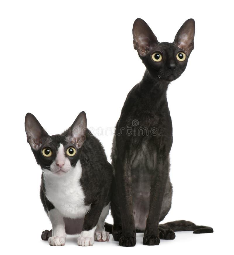 Twee Rex katten Van Cornwall, 7 maanden oud, het zitten stock foto