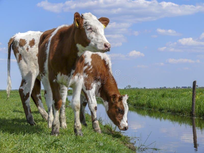 Twee rode bonte jonge koeien die zich op de bank van een kreek, een sloot bevinden, die op een Nederlands landschap letten stock foto