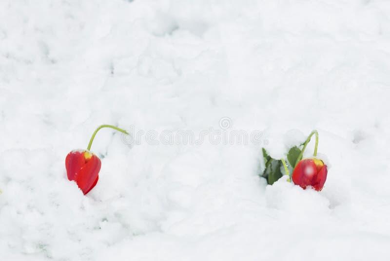 Twee rode die tulpen onder het gewicht van sneeuw worden gebogen - natuurlijke anomalie stock foto