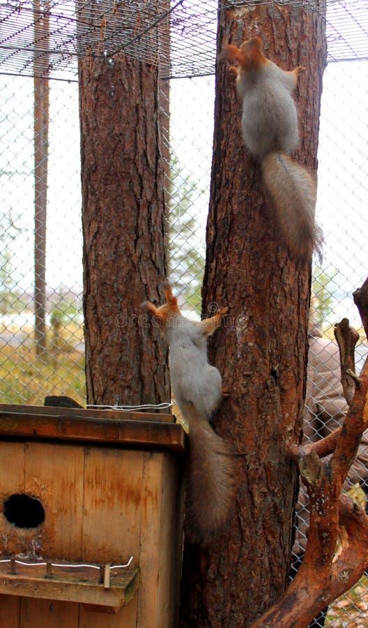Twee rode eekhoorns die een boom beklimmen stock fotografie