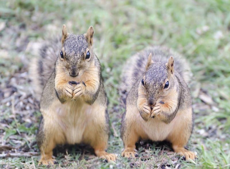 Twee Rode Eekhoorns die Zonnebloemzaden eten royalty-vrije stock afbeelding