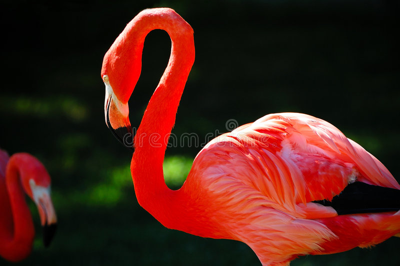 Twee rode flamingo's stock fotografie
