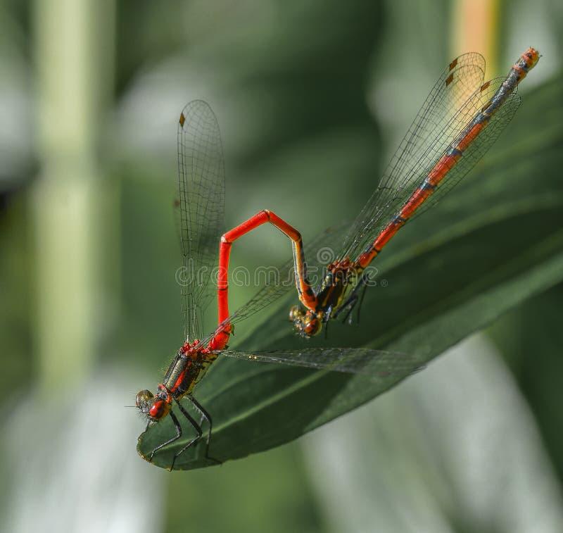 Twee rode libelinsecten die op groen blad de vorm koppelen stock afbeeldingen