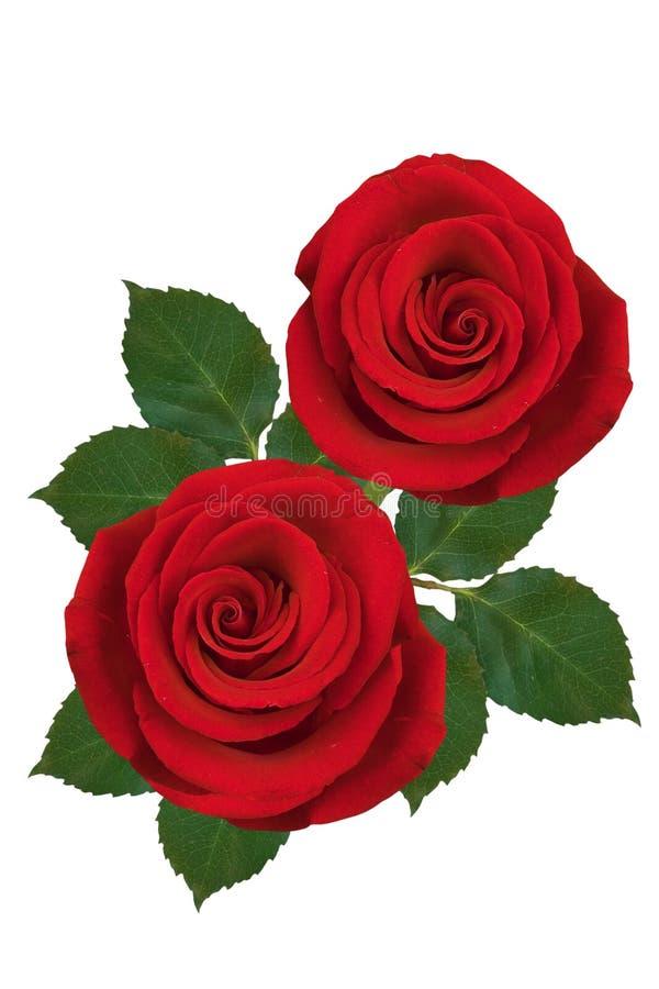 Twee rode rozen op een witte achtergrond Ge?soleerde royalty-vrije stock fotografie