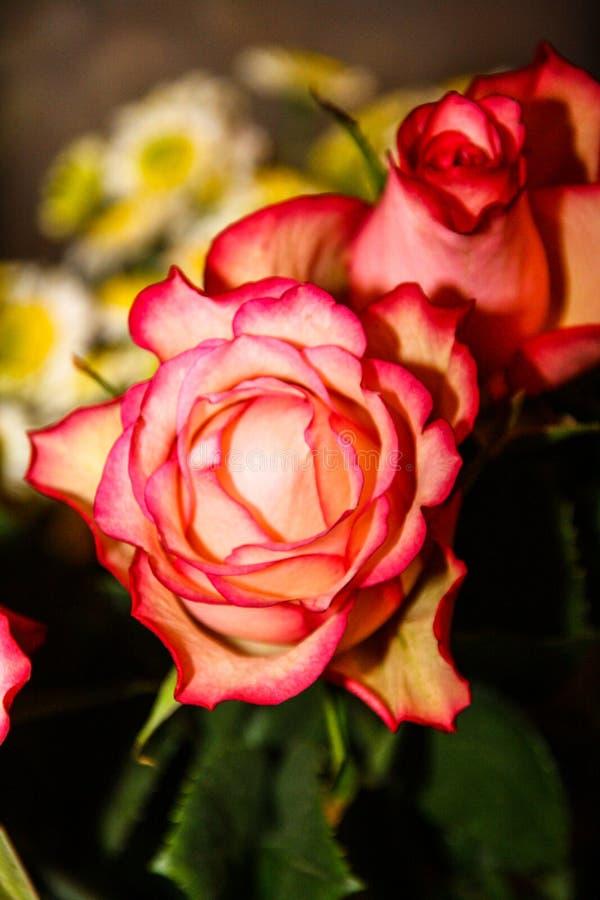 Twee rosebuds van helder roze stock foto