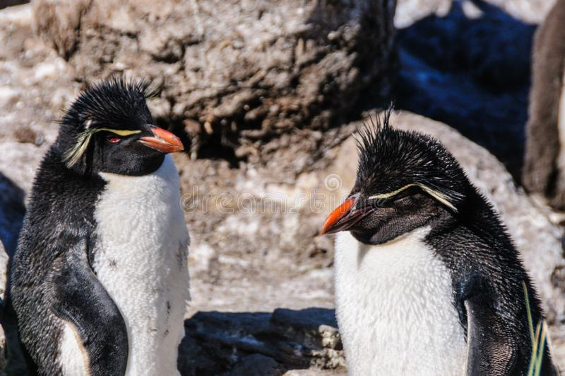 Twee rots-Vultrechter Pinguïnen stock afbeelding