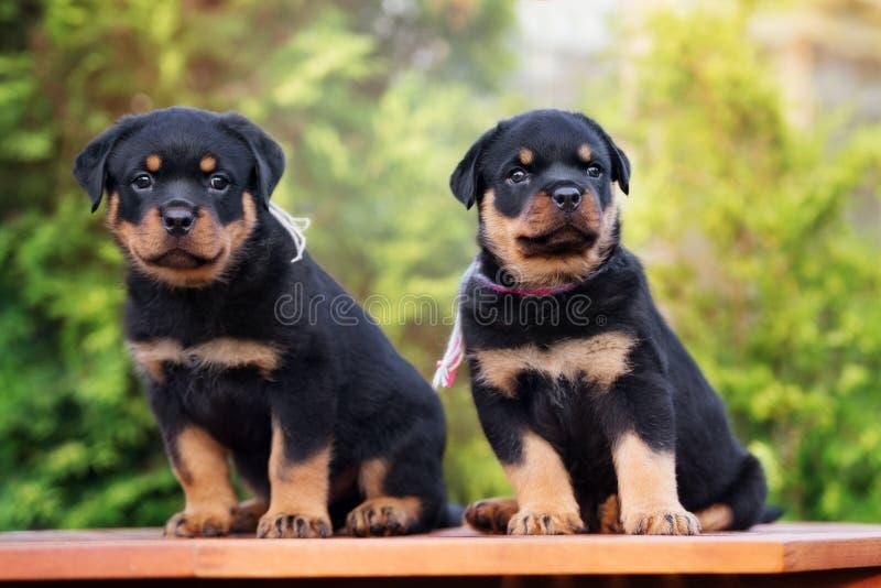 Twee rottweilerpuppy in openlucht royalty-vrije stock fotografie