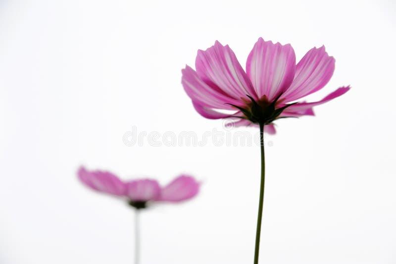 Twee roze coreopsisbloemen royalty-vrije stock foto's