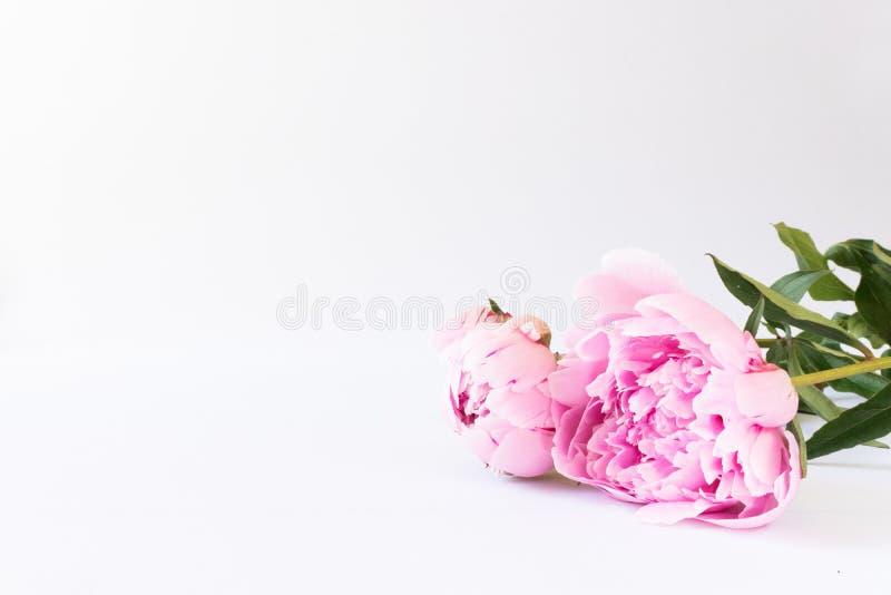 Twee roze pioenen op een wit bureau stock fotografie