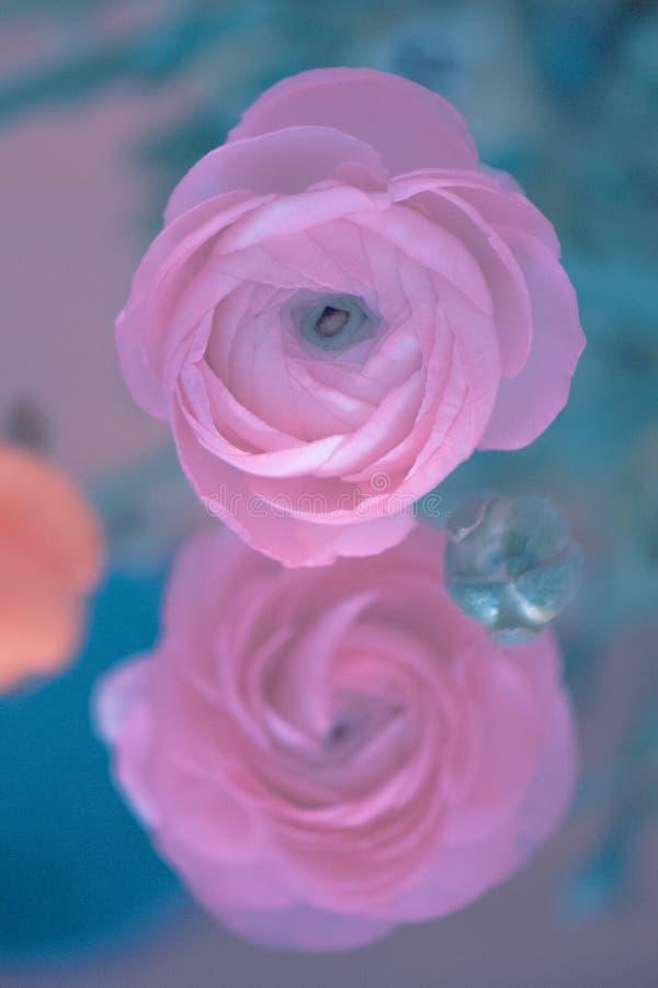 Twee Roze Ranonkels/Ranunculus/Bloemen/Bloemen/Perzische Boterbloem stock afbeeldingen