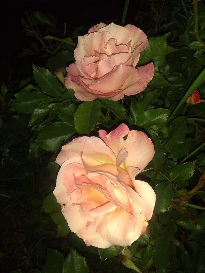Twee roze rozen royalty-vrije stock foto's