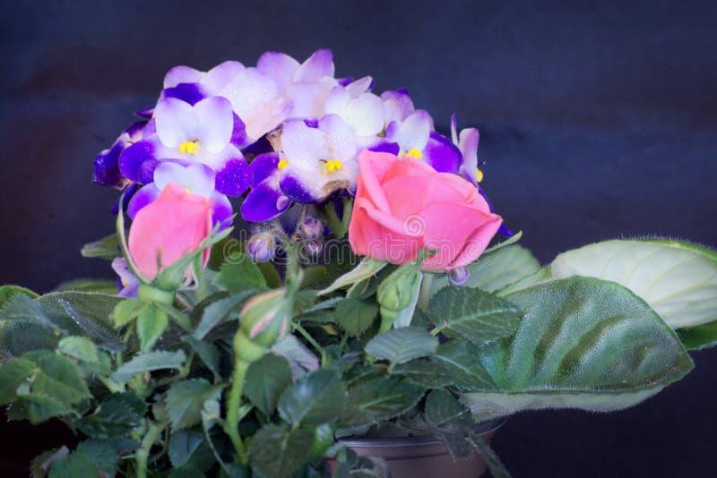 Twee roze rozen en saintpaulia stock foto's
