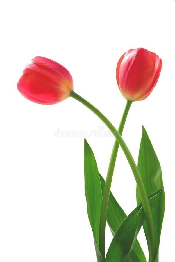 Twee roze tulpen royalty-vrije stock fotografie