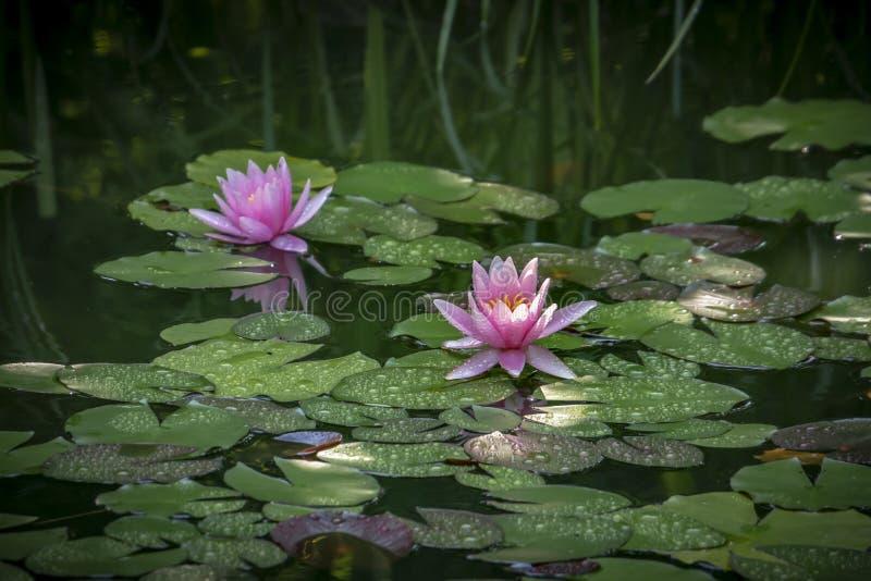 Twee roze waterlelies ` Marliacea Rosea in een vijver op een achtergrond van groene bladeren Één nymphaea met dalingen van water  royalty-vrije stock foto's
