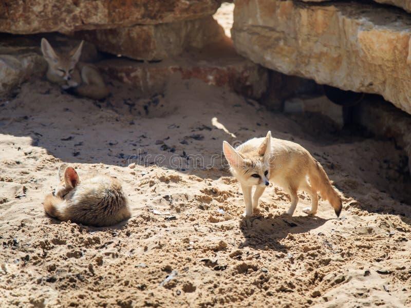 Twee rust van Fennec Foxs op het zand op een zonnige dag en een derde kijkt uit voor prooi royalty-vrije stock foto