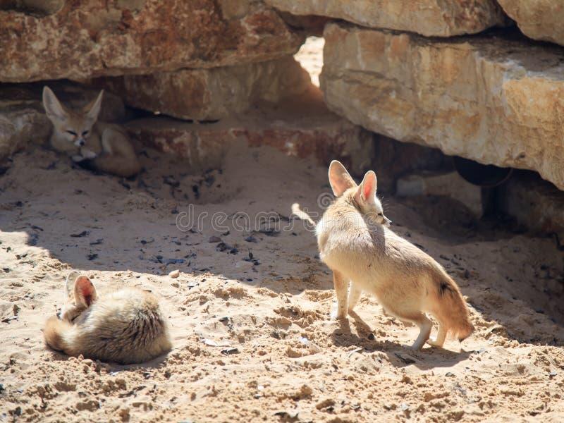 Twee rust van Fennec Foxs op het zand op een zonnige dag en een derde kijkt uit voor prooi stock foto's
