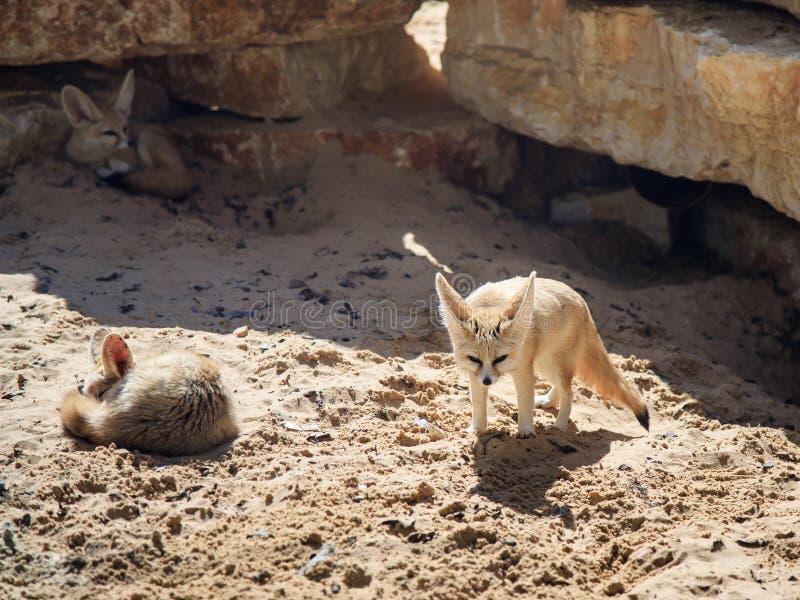 Twee rust van Fennec Foxs op het zand op een zonnige dag en een derde kijkt uit voor prooi royalty-vrije stock afbeeldingen