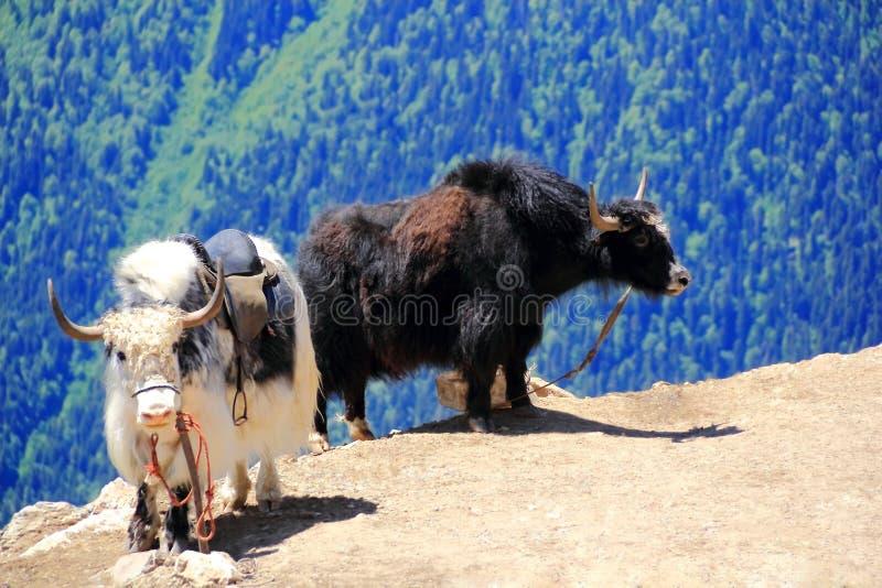 Twee ruwharige yaks in de bergen van de Kaukasus stock foto's