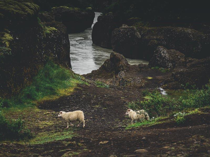 twee schapen dichtbij rivier met groene mosrotsen royalty-vrije stock foto's