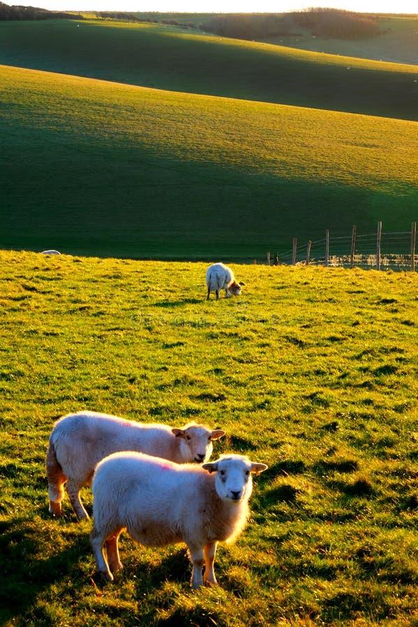 Twee schapen die met Engelse rollende heuvels in de achtergrond weiden royalty-vrije stock foto's