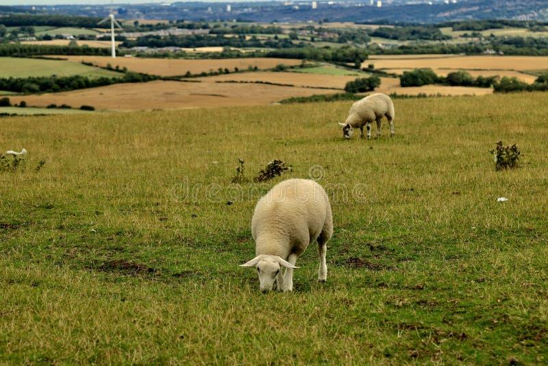 Twee schapen die op de Helling van Durham weiden stock fotografie