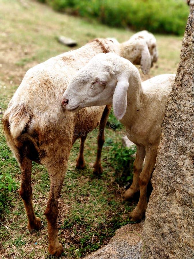 Twee schapen of geit die samen schaduw betekenen stock foto's