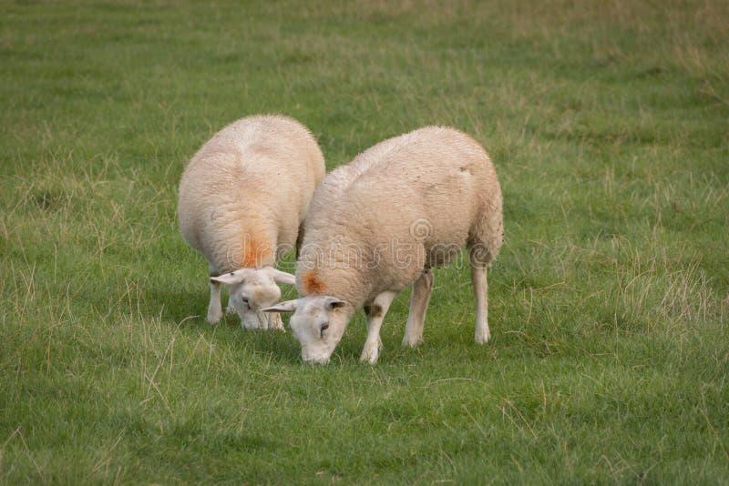 Twee schapen het weiden royalty-vrije stock foto's