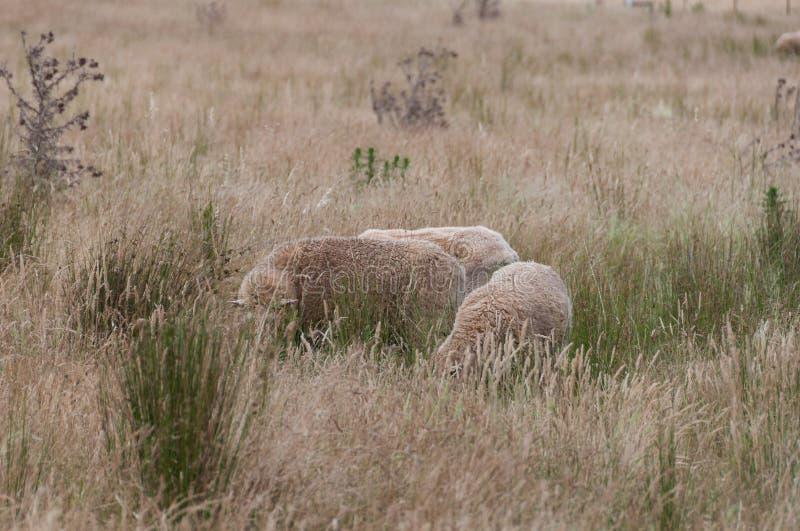 Twee schapen met het dikke vacht weiden op een paddock stock foto's