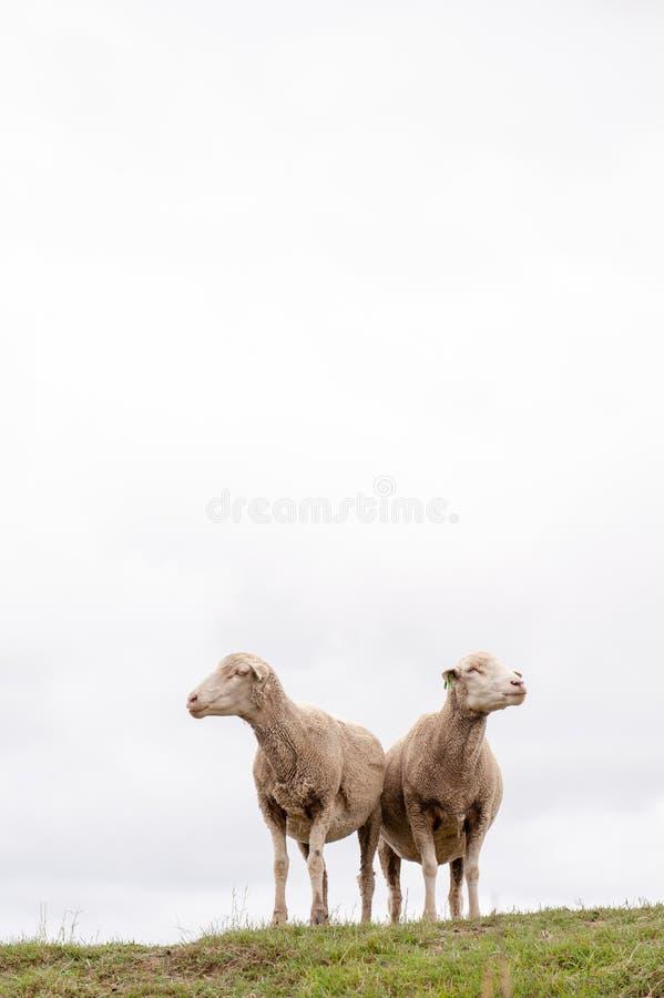 Twee Schapen met witte bewolkte hemel achter hen die in tegenovergestelde richtingen kijken royalty-vrije stock afbeeldingen