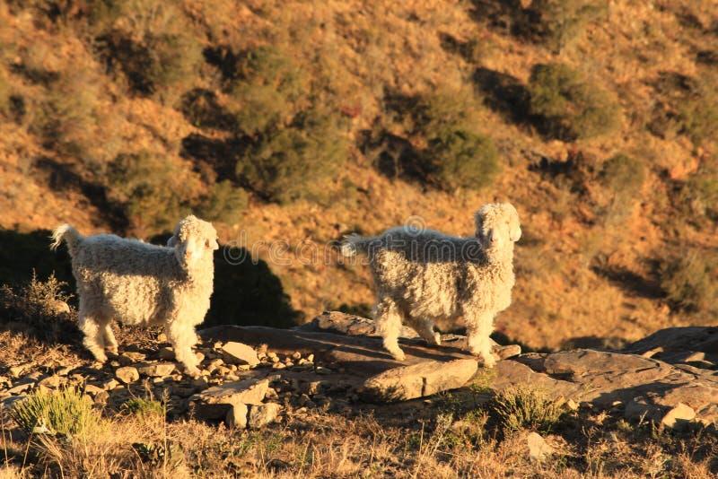 Twee schapen op een rand van het berglandbouwbedrijf bij zonsondergang royalty-vrije stock fotografie