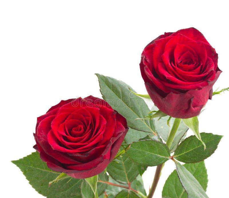Twee scharlaken rode rozen stock fotografie