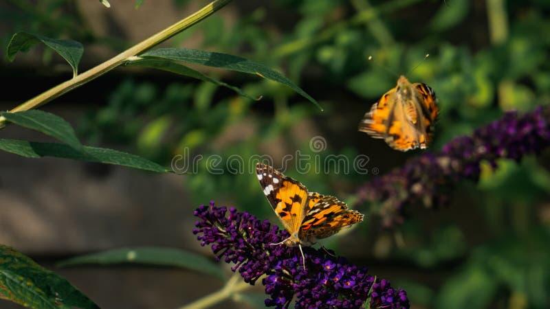 Twee schilderden damevlinders, één wegvliegend en één verzamelend nectar van buddlejabloem royalty-vrije stock fotografie