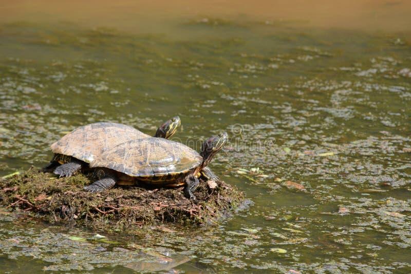 Twee schildpadden het zonnen stock foto's