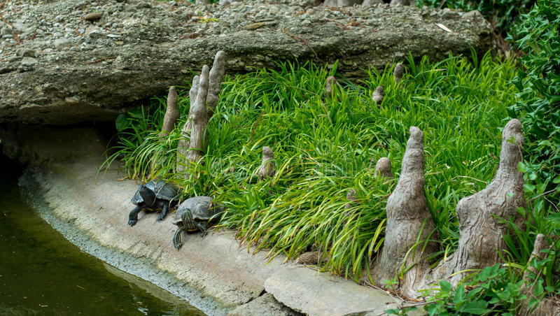 Twee Schildpadden in Japans Koi Pond royalty-vrije stock afbeelding