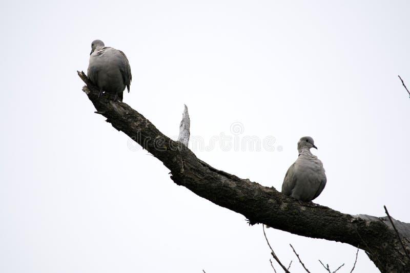 Twee schildpadduiven zitten op takken van een droge boom royalty-vrije stock afbeeldingen
