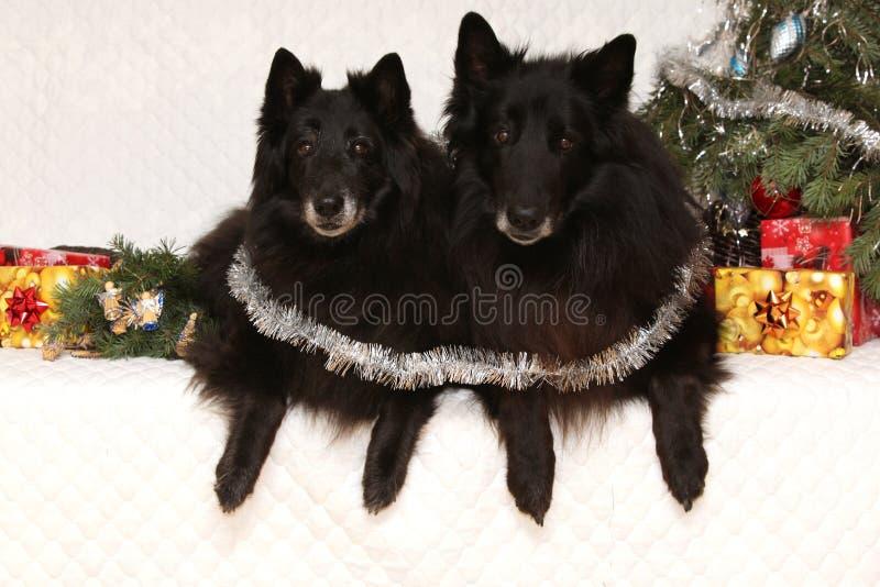 Twee schitterende zwarte honden met Kerstmisdecoratie stock foto's