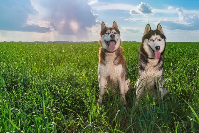 Twee schor honden met gelukkige gezichten zitten op een mooie de zomer groene weide tegen de zonnige hemel met wolken en regen op royalty-vrije stock afbeeldingen