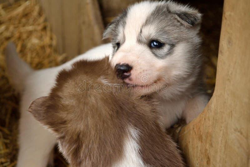 Twee schor puppy stock afbeelding
