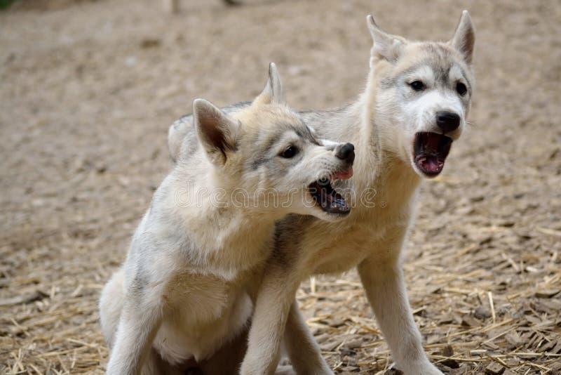Twee schor puppy in speels geschil royalty-vrije stock foto's
