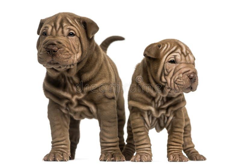 Twee Shar Pei-puppy status, geïsoleerd op wit stock fotografie