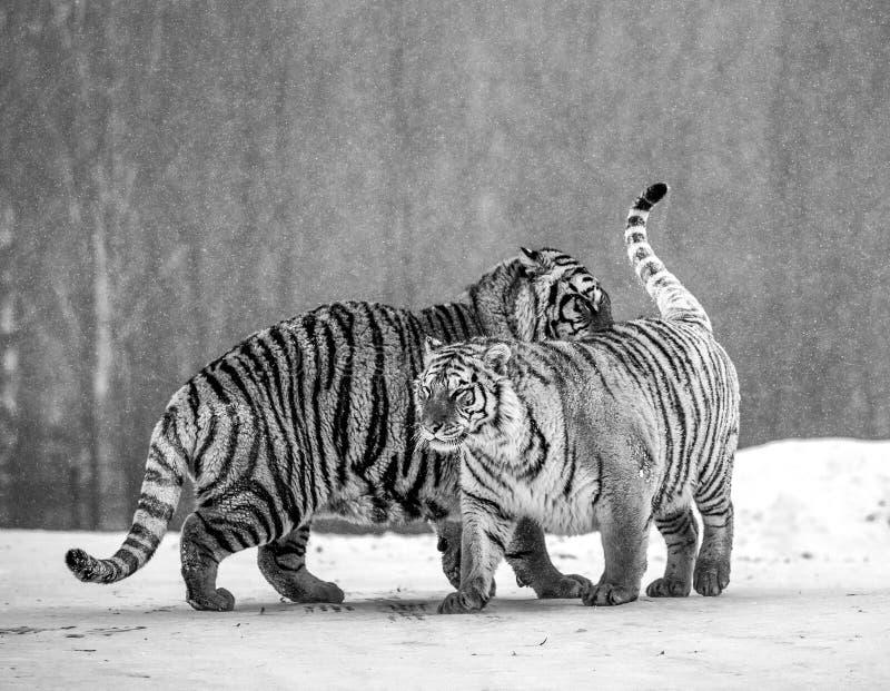 Twee Siberisch tijgersspel met elkaar in een sneeuwopen plek Rebecca 36 China harbin Mudanjiangprovincie Hengdaohezipark royalty-vrije stock foto