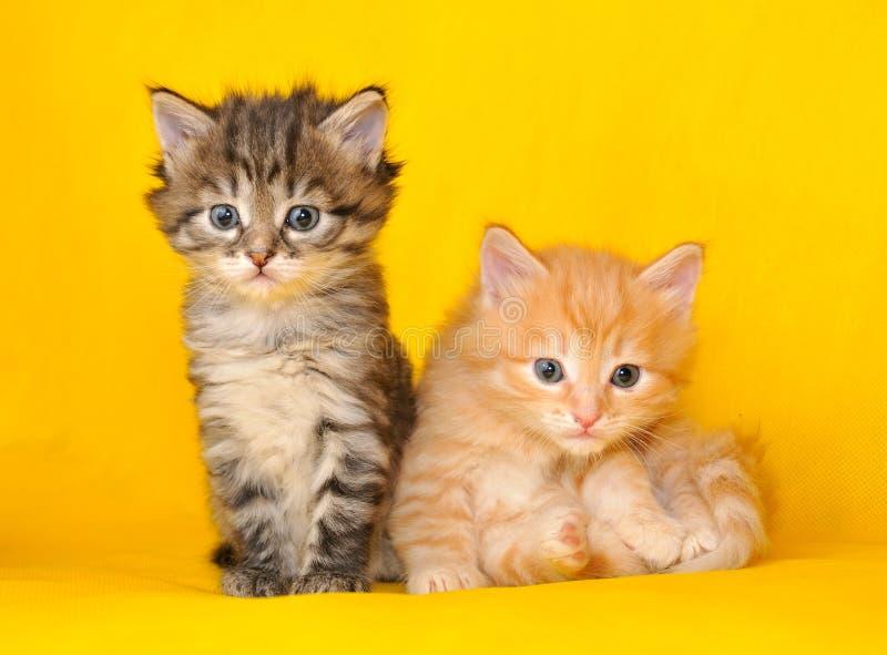 Twee Siberische katjes stock afbeelding