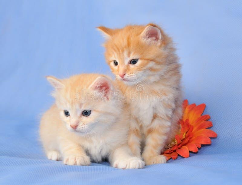 Twee Siberische katjes stock foto's