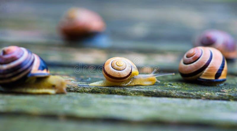 Twee slakken die zich in tegenovergestelde richtingen, een oude houten oppervlakte bewegen stock fotografie